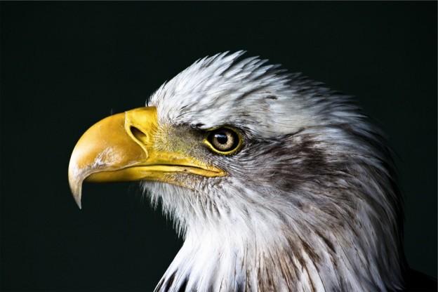 They're beautiful nature-bird-animal-heron-largebird-animal-united-states-of-america-bald-eagl